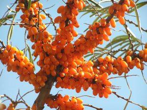 פרי דובדבן האובליפחה