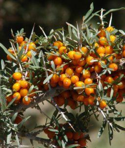 פרי האובליפיחה